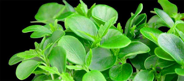 tahooncress